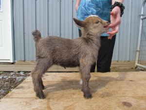 Dark Gold Nigerian Dwarf doe