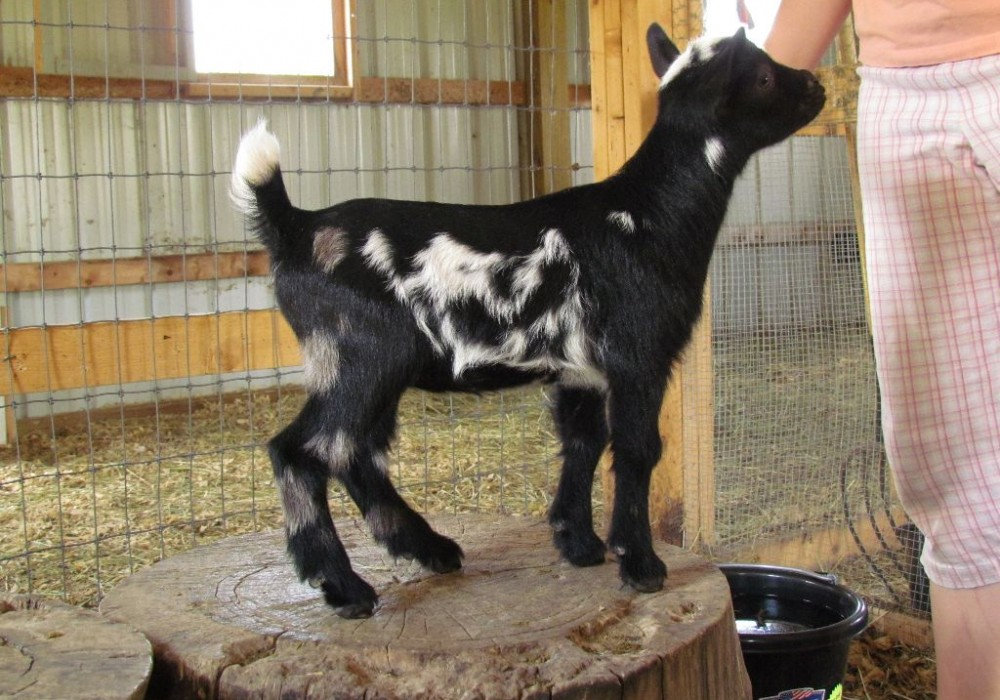 Nigerian Dwarf black and white moonspots doe
